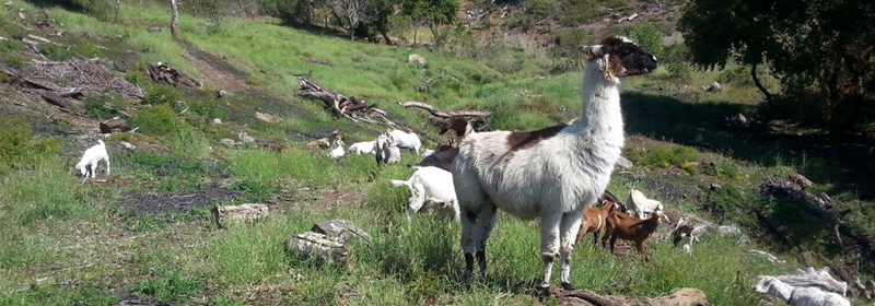 Llamas and goats grazing on natural vegetation.