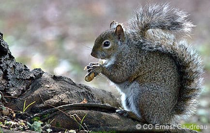 Western gray squirrel foraging for nuts