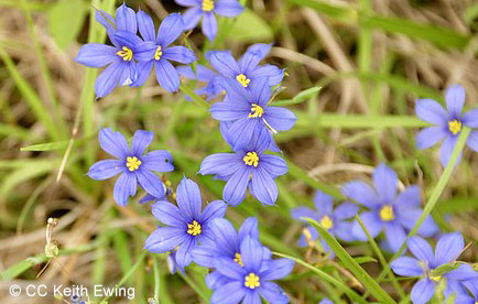 Blooming blue-eyed grass