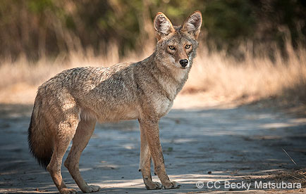 Coyote standing on a trail