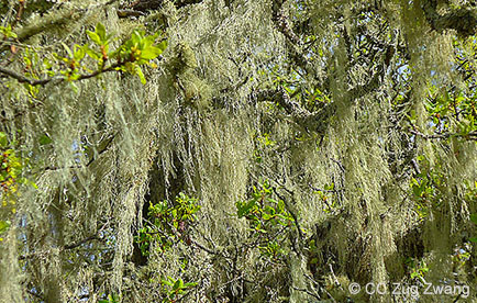 Lace lichen hanging from tree branches