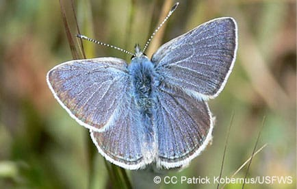 Mission blue butterfly, an endangered species