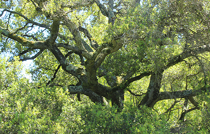 Giant oak tree in Bowman Canyon