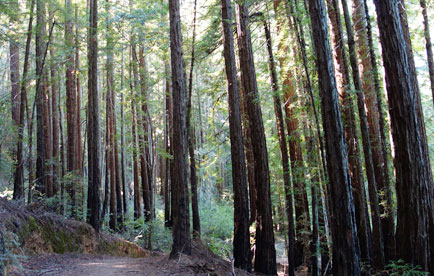 Redwood trees along the path
