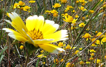 Yellow wildflowers blooming in Ring Mountain Preserve