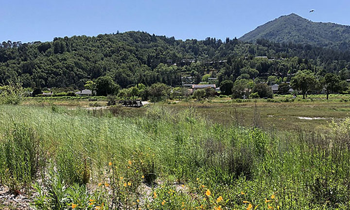 View of Mt. Tam from Creekside marsh