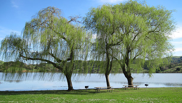 Weeping willow trees on the shore of Stafford Lake Park