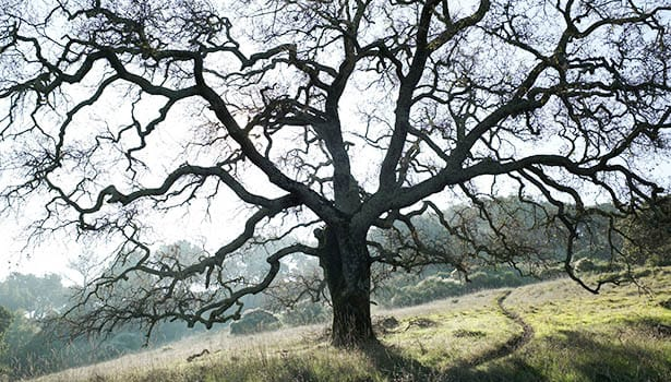 Old oak in winter