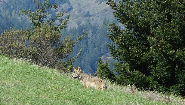 Coyote on Porcupine Trail in White Hill Preserve