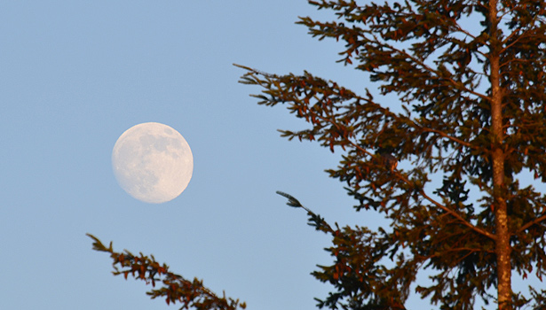 Full moon through evergreen branches