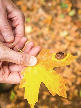 Close-up of hand holding oak leaf
