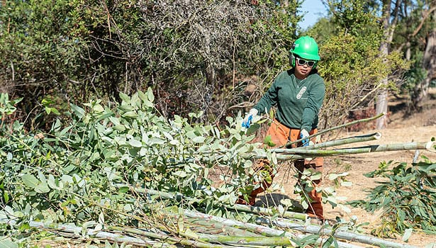 Worker in hardhat harvesting eucalyptus at Terra Linda Preserve