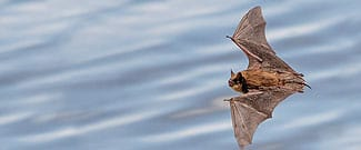 Brown bat flying above water