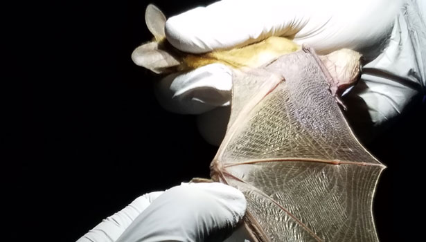 Scientist carefully inspects a live bat's wing