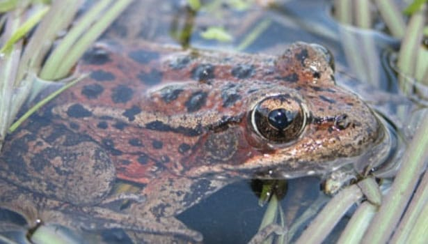 Red-legged frog in the water