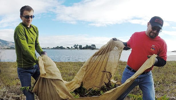Volunteers hauling a tarp filled with iceplant