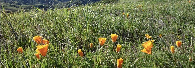California Poppies Library Park Pass